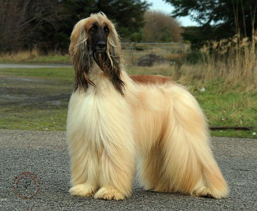 Mousematuk/Dogs/Afghan Hound/Afghan Hound 9Y119D037