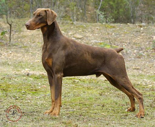 Doberman Guard Dog For Sale Australia