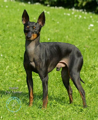 English toy terrier toy manchester terrier dog breeds for English terrier