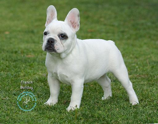 ... unique mouse mat designs/Dogs/French Bulldog/French Bulldog 9K068D-02