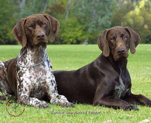 ALL BREEDS DOGS: German Shorthaired Pointer dog