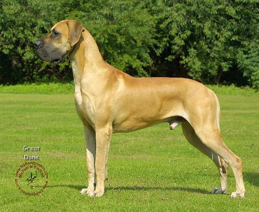 Mousematuk » Dogs » Great Dane
