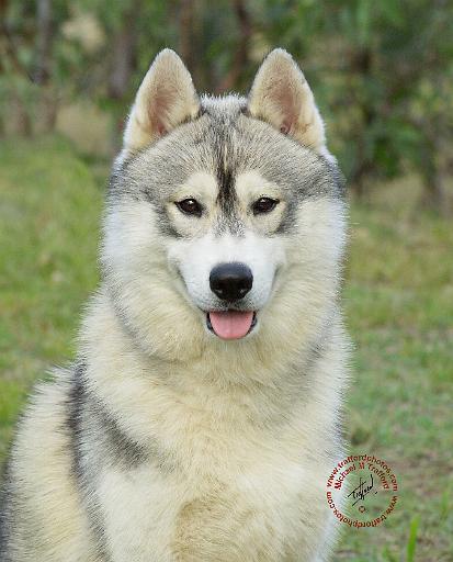 Mousematuk » Dogs » Siberian Husky