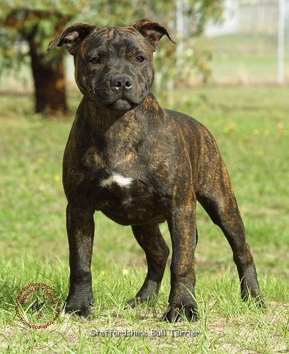 Staffordshire Bull Terrier Staffordshire Bull Terrier Small Dogs ... Staffordshire Bull Terrier Uk Law