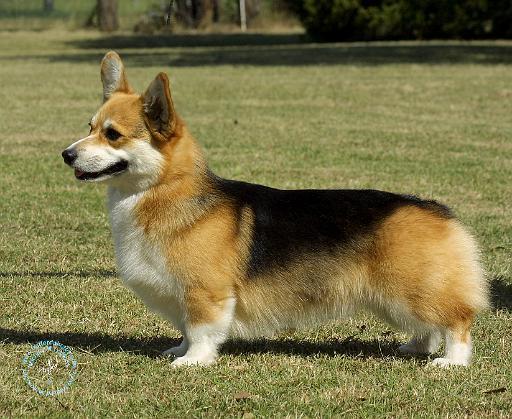 ... mat designs/Dogs/Welsh Corgi Pembroke/Welsh Corgi Pembroke 9R022-067