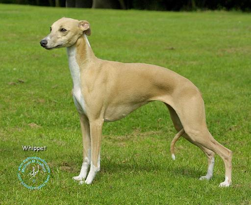 View topic - Whippet/G...